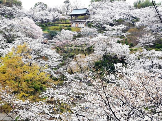 菊池公園の桜