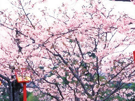 小城公園の桜イメージ