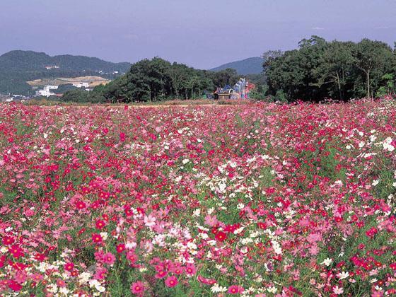 リフレッシュパーク豊浦のコスモス イメージ
